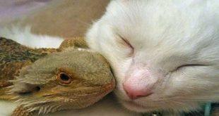 دوستی اژدهای ریشدار و گربه