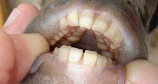ماهی جالب و دیدنی با دندان هایی شبیه انسان