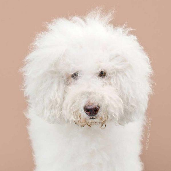 تصاویری از آرایش موی سگ ها