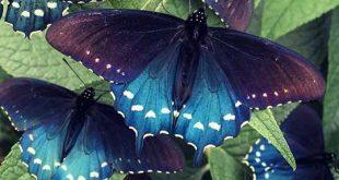 پروانههای دمچلچلهای