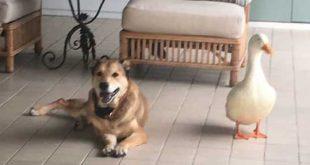 دوستی سگ و اردک