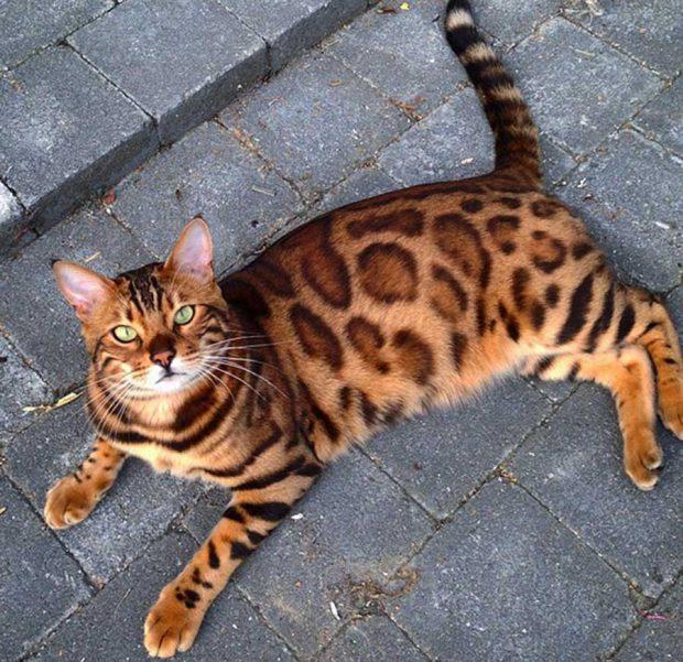 تصاویر بسیار دیدنی از گربه بنگال با پوستی درخشان