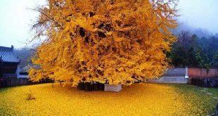 برگ ریزان درخت ۱۴۰۰ ساله
