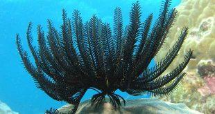 زنبق دریایی