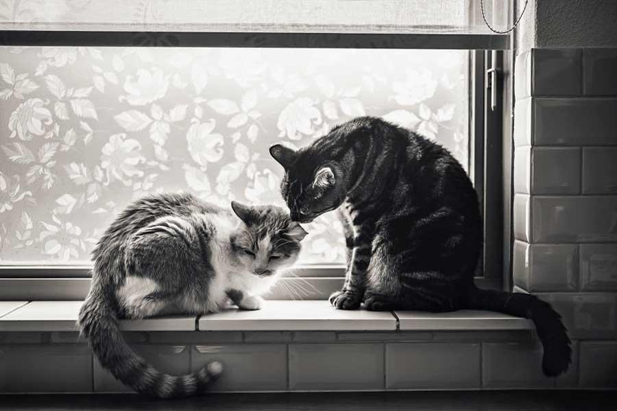 رابطه صمیمی و جذاب دو گربه با شخصیت هایی متفاوت ؟!