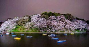 رقص شکوفههای بهاری درختان گیلاس