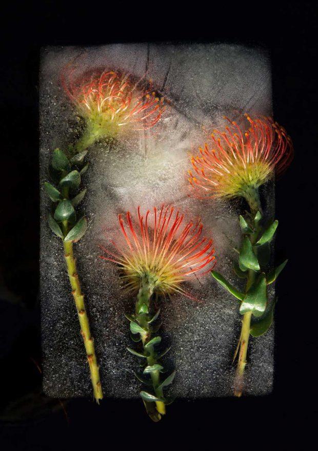 تصاویری از عکاسی با سوژه گلهای یخ زده