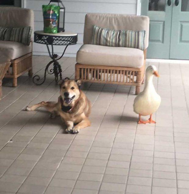 تصاویر دیدنی از دوستی سگ و اردکتصاویر دیدنی از دوستی سگ و اردک