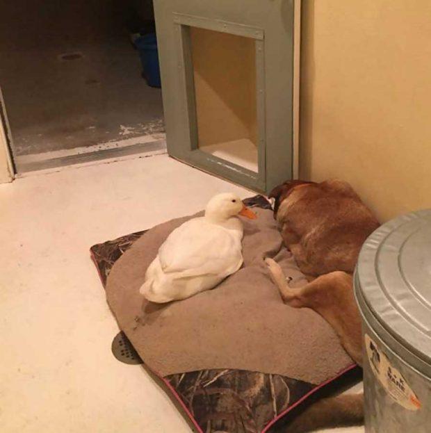 تصاویر دیدنی از دوستی سگ و اردک