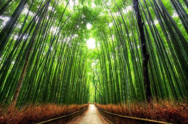 جنگل بامبو