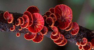 قارچ های استرالیایی