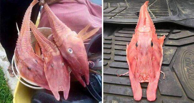 خرسک ماهی عجیب